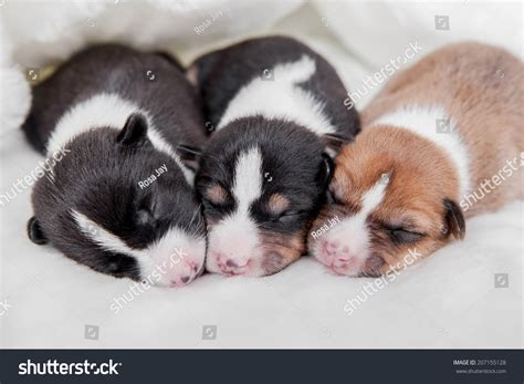 Newborn Basenji Puppies Stock Photo 207155128