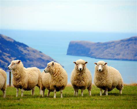 zealand coast cute sheep animal photo preview wallpapercom