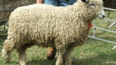 Annual Sale Of Lincoln Longwools