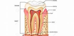 Maxillary Premolars