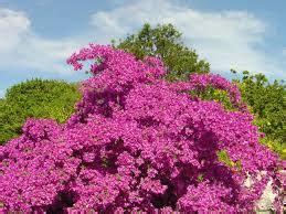 flora  fauna tanaman hias kembang kertas hkbni
