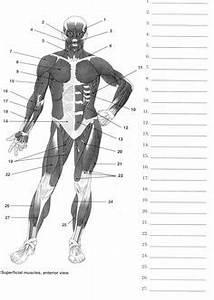 Muscular System On Pinterest