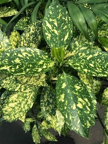 Dust Plant Gold Aucuba Plants Indoor Pot