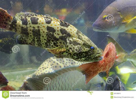 grouper fish tank preview dreamstime