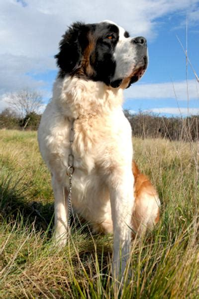 saint bernard wooftown