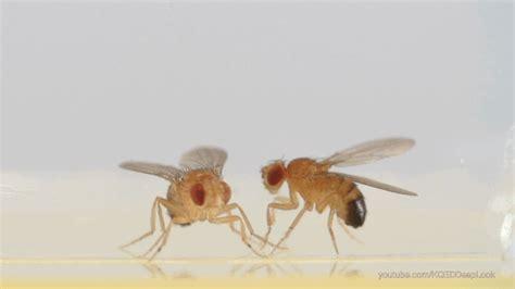 fighting fruit flies  superheroes  brain