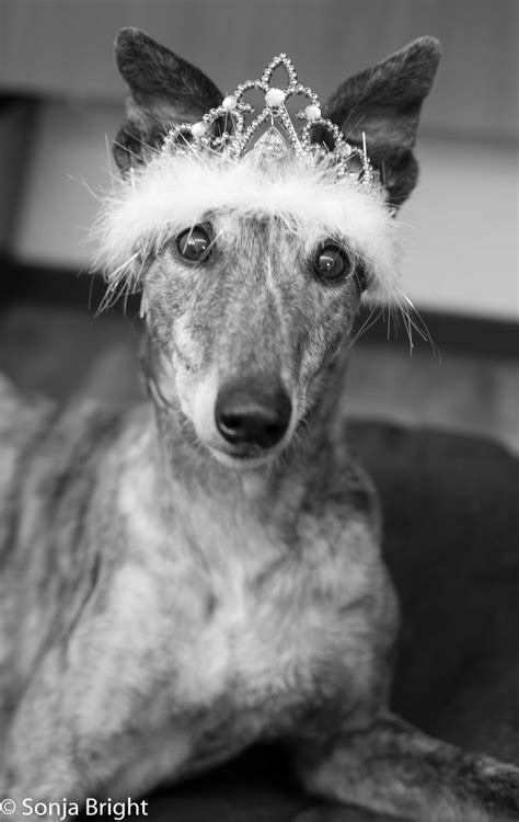 382 best images about Greyhounds on Pinterest | Adoption