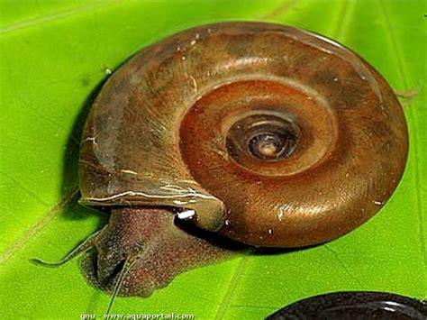 escargot d eau douce aquarium invert 233 br 233 s d eau douce dans aquabdd page 3 forum invert 233 br 233 s d eau douce