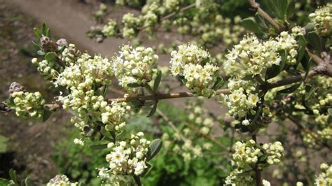 Ceanothus Cuneatus  Sevenoaks Native Nursery