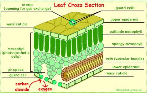 3d image leaf cell