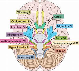 Structure And Function Of The Cranial Nerves In El Paso  Tx