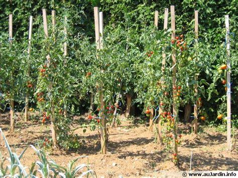 cuisiner les fleurs tailler les plants de tomates
