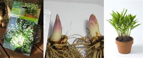 planter du muguet en pot muguet 1er mai et 233 cologie les pieds dans la toile