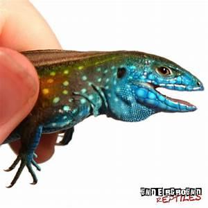 Rainbow Whiptail - Underground Reptiles