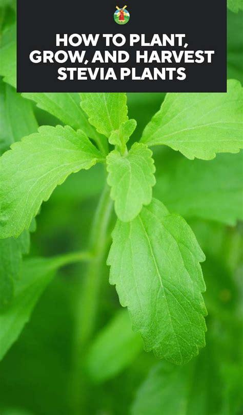 growing stevia   plant grow  harvest stevia