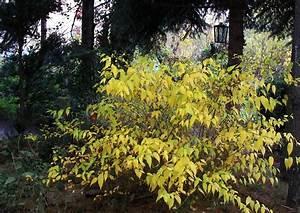 Was Blüht Im Schatten : kerria japoica goldkerrie gold gelbes herbstlaub im schatten eines der wichtigen schattengeh lze ~ Markanthonyermac.com Haus und Dekorationen