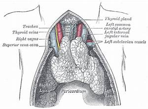 Thymus - Definition, Location, Function and Pictures