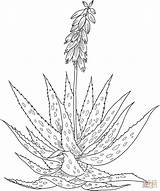 Aloe Vera Coloring Pages Drawing Printable Flower Cactus Flowers Supercoloring Tattoos Drawings Tag Anatomy Plant Select Nature Animals Agave Aloevera sketch template