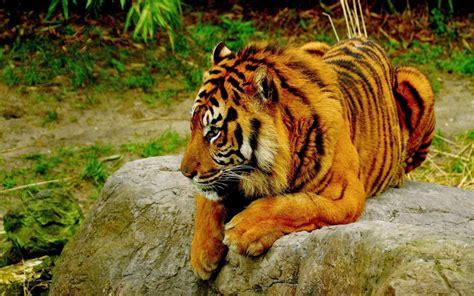 Bengal Tiger Wallpapers Free Download