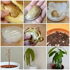 Planter Noyau Mangue : 16 fruits et l gumes faire pousser l 39 infini partir ~ Melissatoandfro.com Idées de Décoration