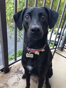 Black lab whippet mix | Random | Pinterest | Bud, Labs and ...