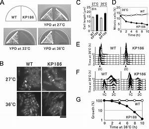 The Phenotype Of Kp186 Cells  A  Temperature