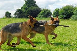 German Shepherd Dog Club Of America | Upcomingcarshq.com