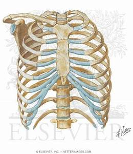 Thoracic Wall  Thoracic Cage  Skeleton