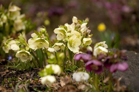 hellebores when to plant hellebore archives plant talk