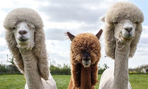 cotswold alpacas sport bizarre     summer
