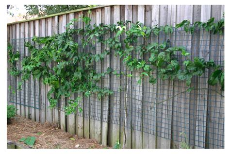Best Place To Buy Trellis by How To Grow Passionfruit The Veggie