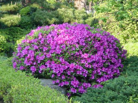 Azalia A may flowers blooming in kamakura japan photo tour