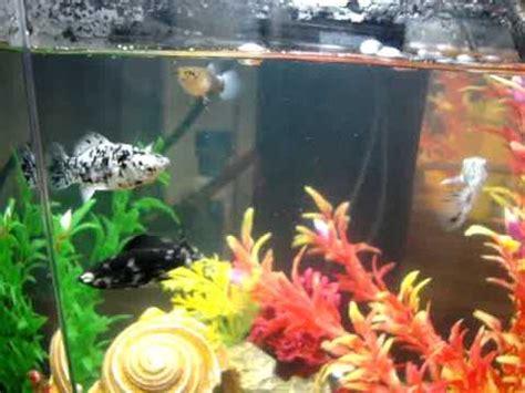 pregnant guppydalmation molly fish tank youtube