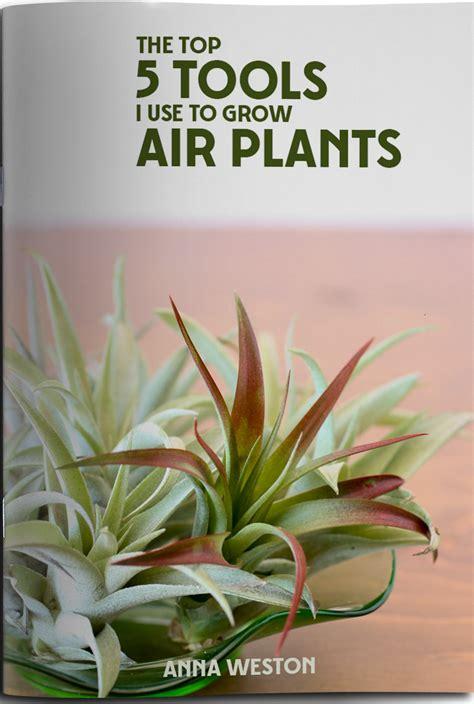air plants watering watering air plants modern air plants