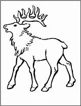 Elk Coloring Pages Animals Bull Mountain Rocky Printable Animal Sheet Simple Template Hunting Sheep Fun Popular sketch template