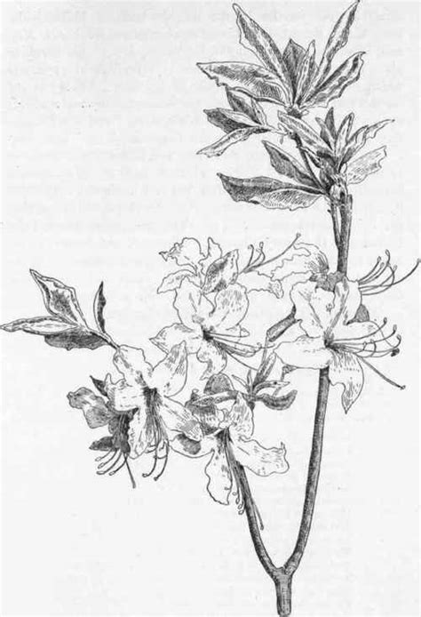 Pink Azalea. Wild Honeysuckle. Pinxter Flower - Swamp Pink