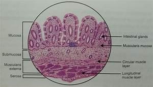 Large Intestine Histology Gallery