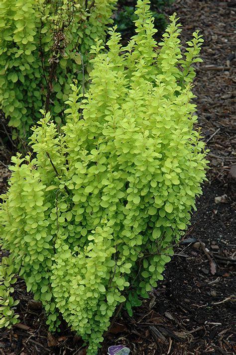 sunjoy gold pillar japanese barberry berberis thunbergii sunjoy gold pillar  inver grove