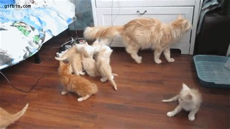 cats fall scares kittens  funny gifs updated daily