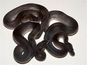 Super Cinnamon - Morph List - World of Ball Pythons