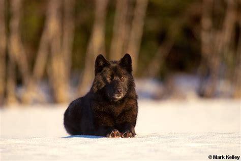 black wolf romeo alaska image mark kelley mark