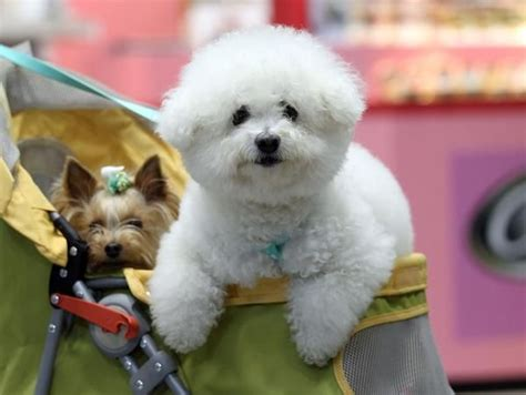 Do Bichon Poodles Shed by 49 Best Images About Bichon Frise On Poodles