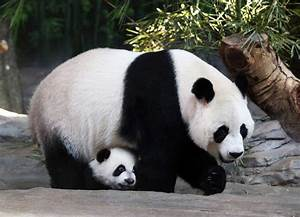 Wild Giant Pandas Making a Comeback in China – 3-3-15 ...