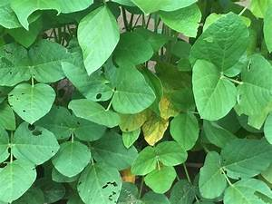 """Soybean """"Mystery Disease"""" Update 