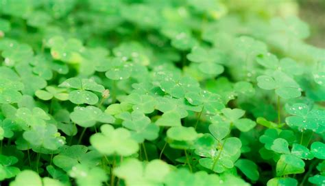 four leaf clover luck or dna genetics of the four leaf clover and the search for the elusive lucky gene splice