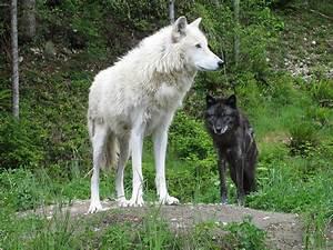 Pure White Wolf Hybrid