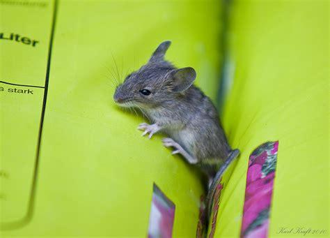Maus Im Garten Foto & Bild  Tiere, Wildlife, Säugetiere