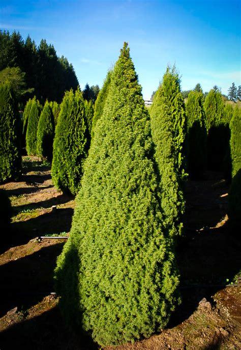 dwarf alberta spruce  sale   tree center