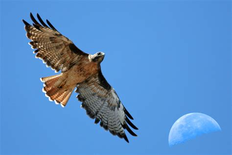 File:Red-tailed Hawk with moon over Estero Bay CA ...