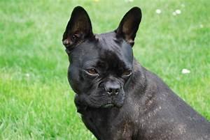 Hundebekleidung Französische Bulldogge : startseite franz sische bulldoggen ~ Frokenaadalensverden.com Haus und Dekorationen